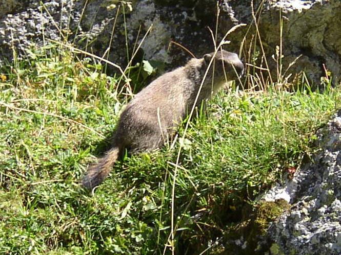 marmotte au lac de La Plagne