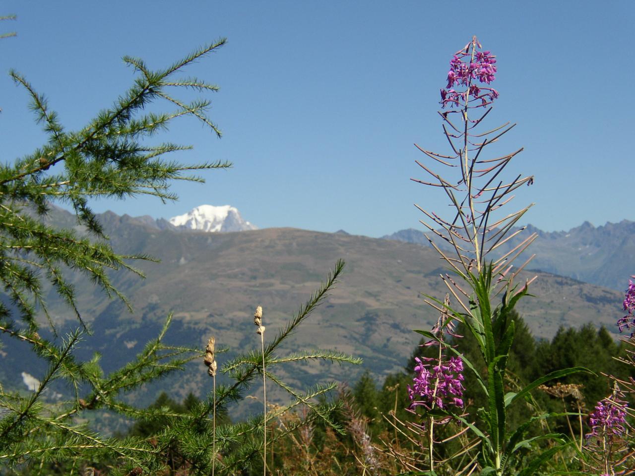 Mont-Blanc, mélèze  et épilobe